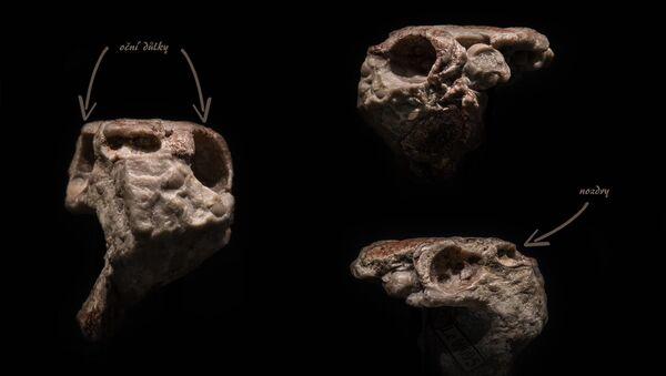 Zkamenělá lebka čelistnatého obratlovce stará přes 400 milionů let, kterou vědci objevili u Prahy, mění pohled na evoluci zubů. - Sputnik Česká republika