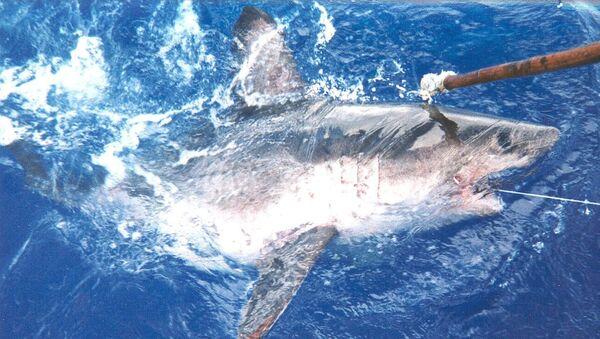 Žralok tichooceánský - Sputnik Česká republika