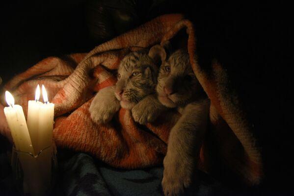 Bengálští tygříci v zoo. Jalta, Rusko.  - Sputnik Česká republika