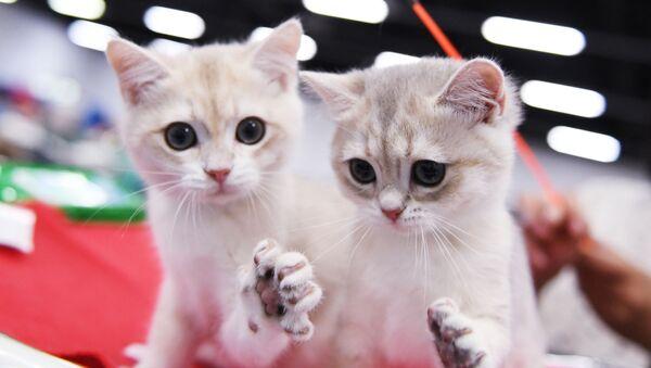 Britské kočky na mezinárodní výstavě Star 2018 v Moskvě - Sputnik Česká republika