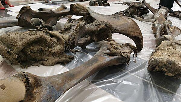 Ostatky mamuta z poloostrova Jamal - Sputnik Česká republika