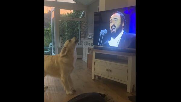 """Fanoušek opery? Retrívr """"nazpíval"""" duet s Lucianem Pavarottim - Sputnik Česká republika"""