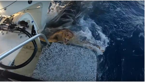 Žralok útočí na želvu - Sputnik Česká republika