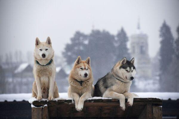 Husky ve vesnici na předměstí Moskvy - Sputnik Česká republika