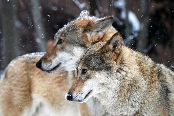Je ti teplo, pando? Zvířata a ptáci v zoo si užívají sněhu - Sputnik Česká republika