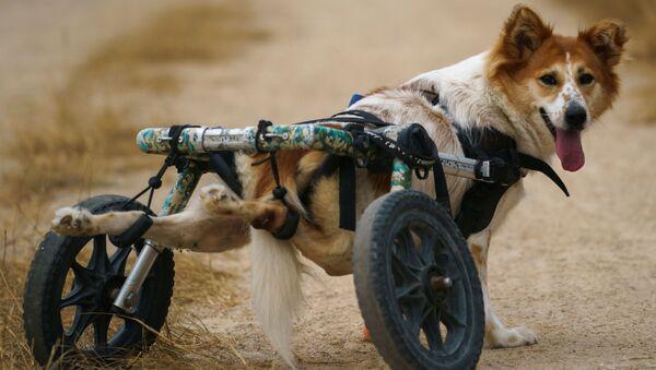 Láska existuje aneb Neuvěřitelně šťastní chlupáči: Jak probíhá venčení zdravotně postižených psů v thajském fondu - Sputnik Česká republika