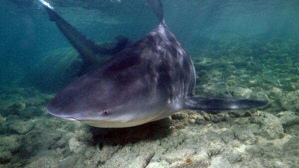 Žralok bělavý - Sputnik Česká republika