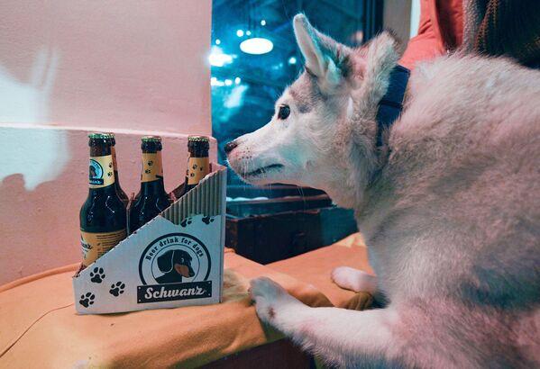 Husky pes čichá láhve s nápojem u vchodu do baru Underdog v Moskvě. - Sputnik Česká republika