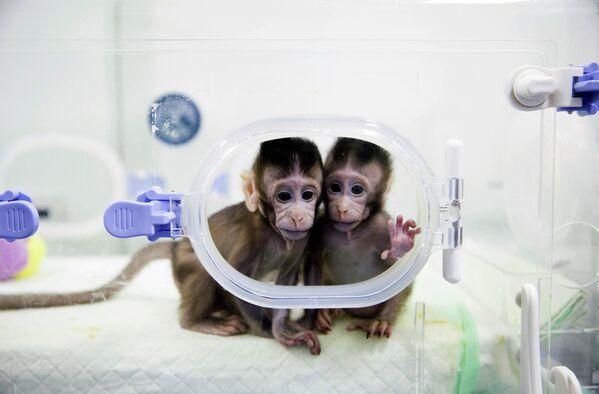 Klonované opice ve výzkumné laboratoři primátů Čínské akademie věd - Sputnik Česká republika