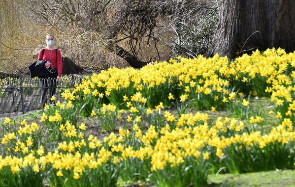 Narcisy kvetoucí v parku St. James's Park v centru Londýna. - Sputnik Česká republika