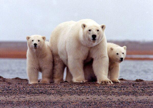 Lední medvěd s mláďaty v Arktické národní přírodní rezervaci pro divokou zvěř na Aljašce. - Sputnik Česká republika