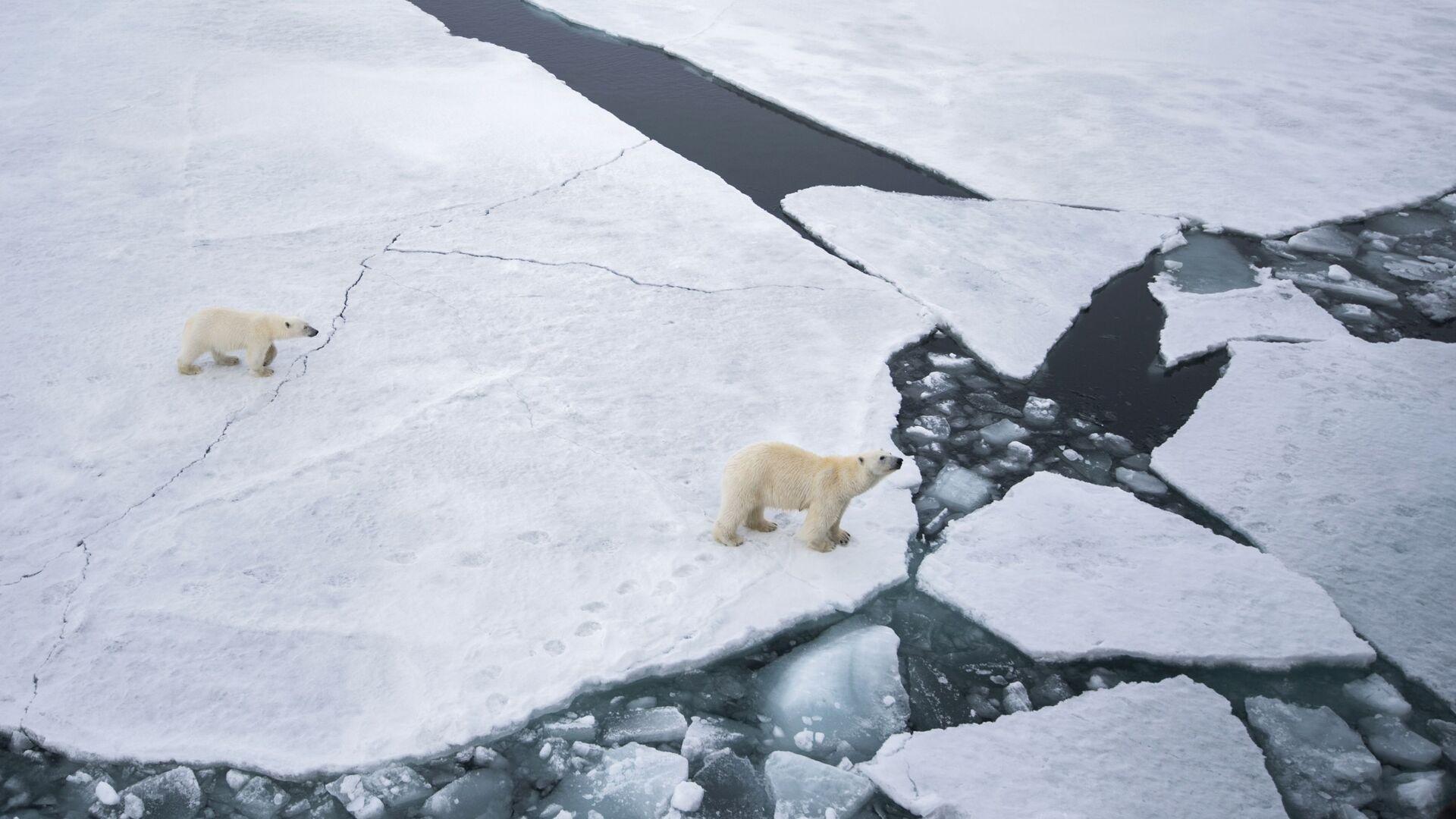 Белая медведица с медвежонком в районе архипелага Земля Франца Иосифа в Баренцевом море - Sputnik Česká republika, 1920, 07.09.2021