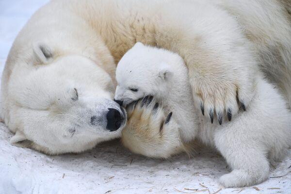 Lední medvědice Gerda s medvědem ve výběhu novosibirské zoo. - Sputnik Česká republika