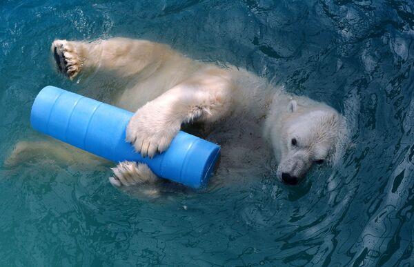 14letý lední medvěd Felix se koupe v bazénu v parku flóry a fauny Rojev Ručej v Krasnojarsku. - Sputnik Česká republika