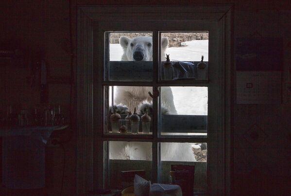 Lední medvěd na území polární stanice na břehu zátoky Tichaja na Hookerově ostrově souostroví Země Fratiška Josefa. - Sputnik Česká republika