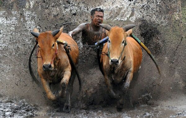Pasák bičuje krávy během závodu Paku Jawi v Západní Sumatře v Indonésii. - Sputnik Česká republika