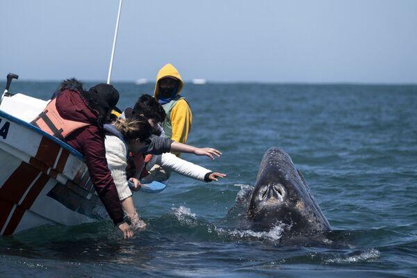 Posádka malé lodi se snaží pohladit velrybu šedou v Mexiku. - Sputnik Česká republika