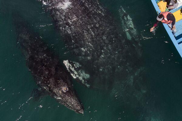 Letecký pohled na velryby proplouvající kolem člunu s pozorovateli v Mexiku - Sputnik Česká republika