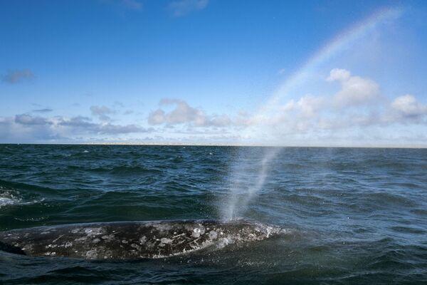 Velryba šedá v laguně Ojo de Liebre v Mexiku předvádí vodotrysk. - Sputnik Česká republika