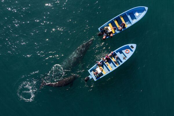 Pohled ze vzduchu na velryby, které se přibližují ke člunům s turisty v Mexiku.  - Sputnik Česká republika