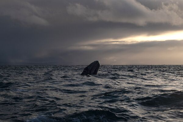 Velryba šedá v laguně Ojo de Liebre v Mexiku. - Sputnik Česká republika