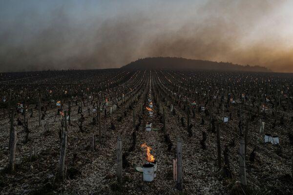 Záchrana sklizně hroznů před mrazem ve Francii - Sputnik Česká republika