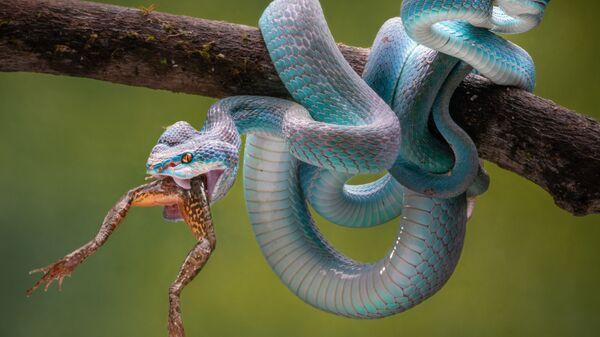 Vysoce jedovatý poddruh zmije pocházející z jihovýchodní Asie. - Sputnik Česká republika