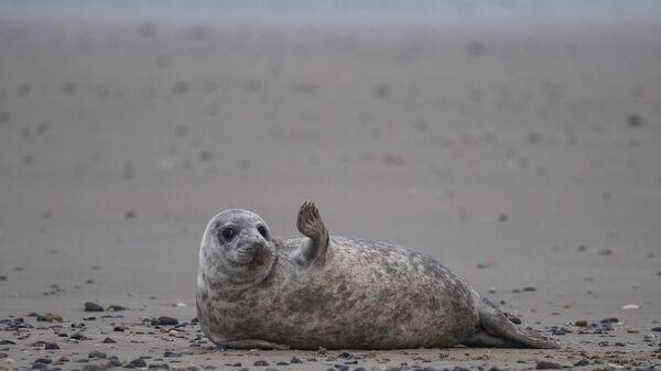 Mladý tuleň leží na pláži na ostrově Helgoland v Severním moři a gestikuluje - Sputnik Česká republika