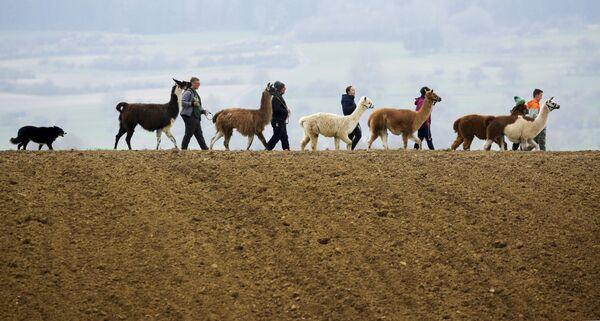 Rodina Blochingových se prochází se svými lamami, alpakami a psem Moglim po venkovské silnici v německém Waldhausenu - Sputnik Česká republika