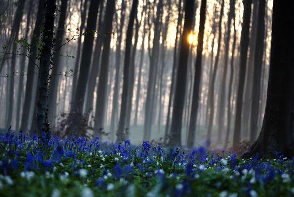 Modrý les Hallerbos v Belgii s kvetoucími hyacinty - Sputnik Česká republika