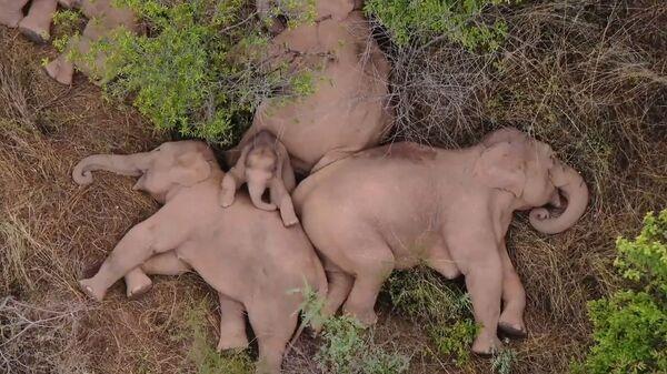 Слоны, отдыхающию в лесу в провинции Китая Юньнань - Sputnik Česká republika
