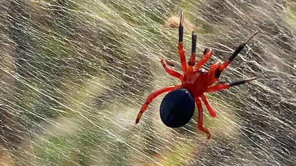 Красные и черные пауки на болоте в Австралии - Sputnik Česká republika