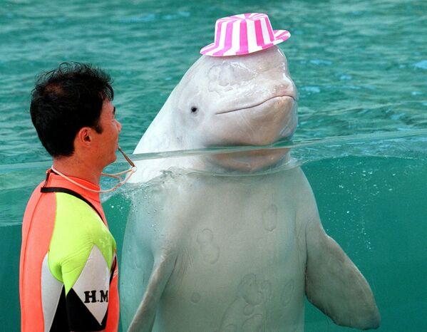 Velryba bílá Chuck se klaní během show vodních zvířat v Sea Paradise na ostrově Hakkei, Japonsko - Sputnik Česká republika