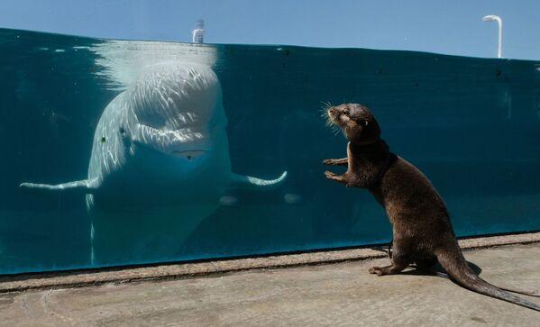 Выдра сталкивается с белухой в аквариуме в Hakkeijima Sea Paradis в Иокогаме, Япония - Sputnik Česká republika