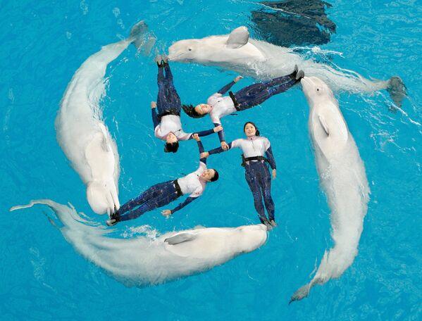 Čtyři běluhy a jejich drezérky  provádí synchronizované cvičení v bazénu akvária Hakkeijima Sea Paradise v japonské Jokohamě - Sputnik Česká republika