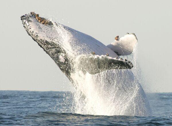 Velryba hrbatá (keporkak) u jižního pobřeží provincie Kwa-Zulu Natal v Jihoafrické republice - Sputnik Česká republika