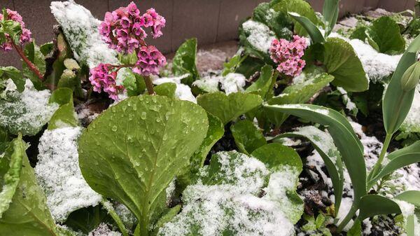 Цветы под снегом во время снегопада  - Sputnik Česká republika