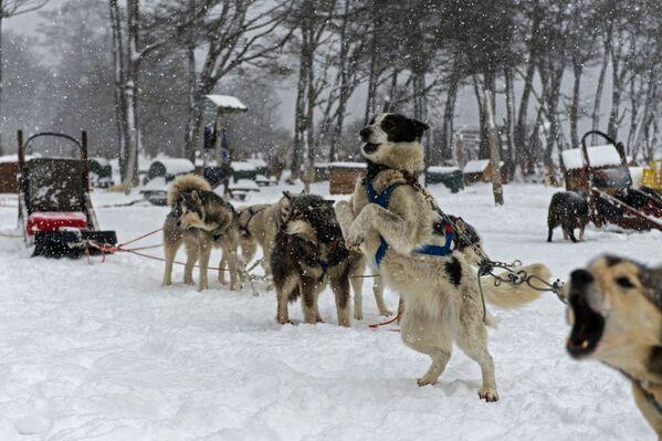 Zapřažení psi čekají na turisty. - Sputnik Česká republika