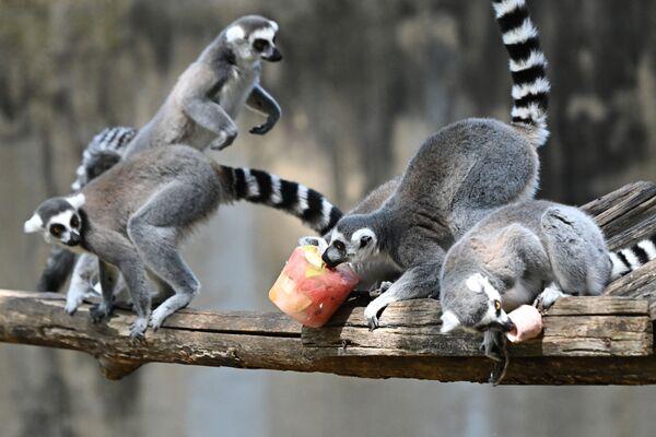 Lemuři v římské zoo jedí mražené ovoce, aby se ochladili v horku - Sputnik Česká republika