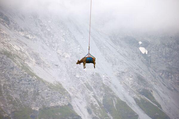 Přeprava krávy vrtulníkem z vysokých alpských luk ve Švýcarsku - Sputnik Česká republika