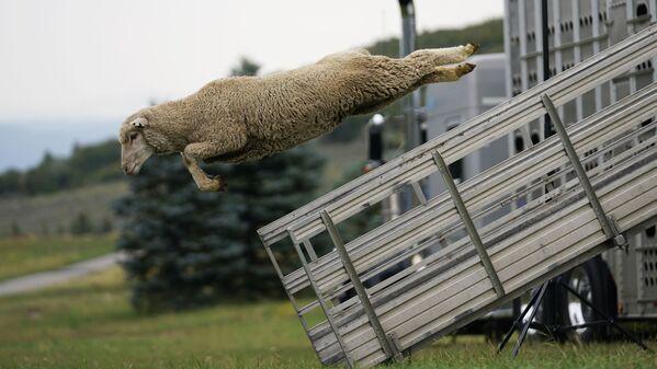 Ovce skákající z kamionu na ročním šampionátu Soldier Hollow Classic Sheepdog Championship v USA - Sputnik Česká republika