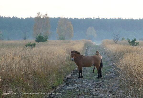Divocí koně v uzavřené černobylské zóně. - Sputnik Česká republika