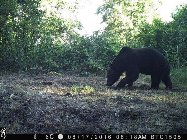 Medvěd hnědý v uzavřené černobylské zóně. - Sputnik Česká republika