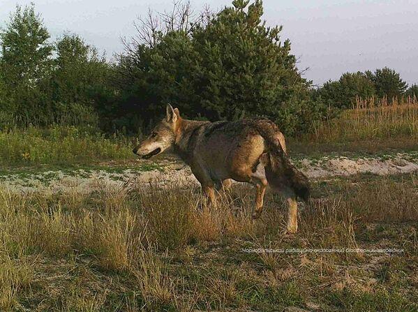 Vlk v uzavřené černobylské zóně. - Sputnik Česká republika
