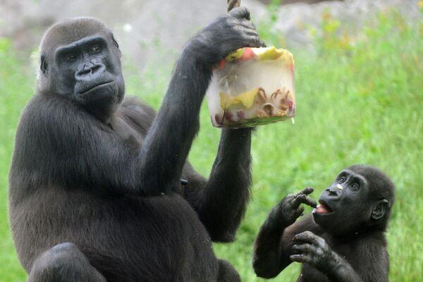 Gorily nížinné - Sputnik Česká republika