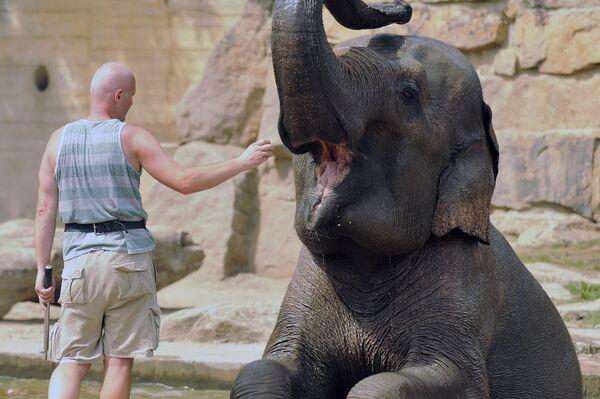 Chovatel zvířat krmí indického slona - Sputnik Česká republika