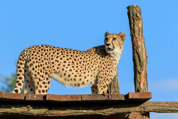 Gepard štíhlý - Sputnik Česká republika