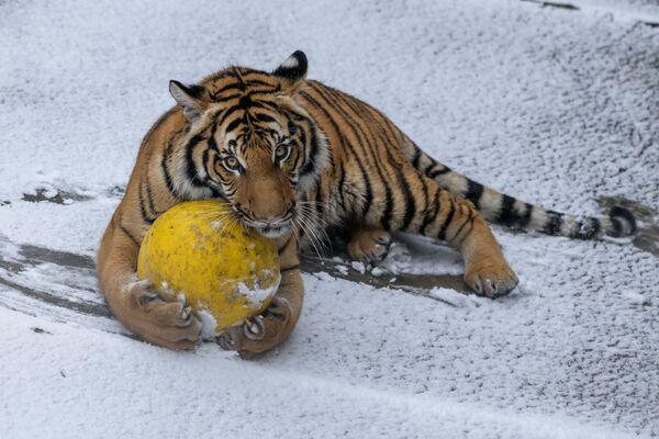 Tygr malajský - Sputnik Česká republika
