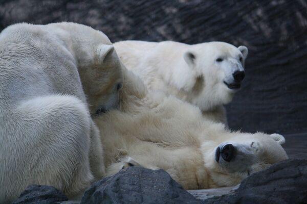 Lední medvědi v Pražské zoo - Sputnik Česká republika