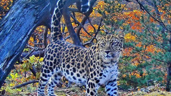 Леопард в осеннем лесу - Sputnik Česká republika